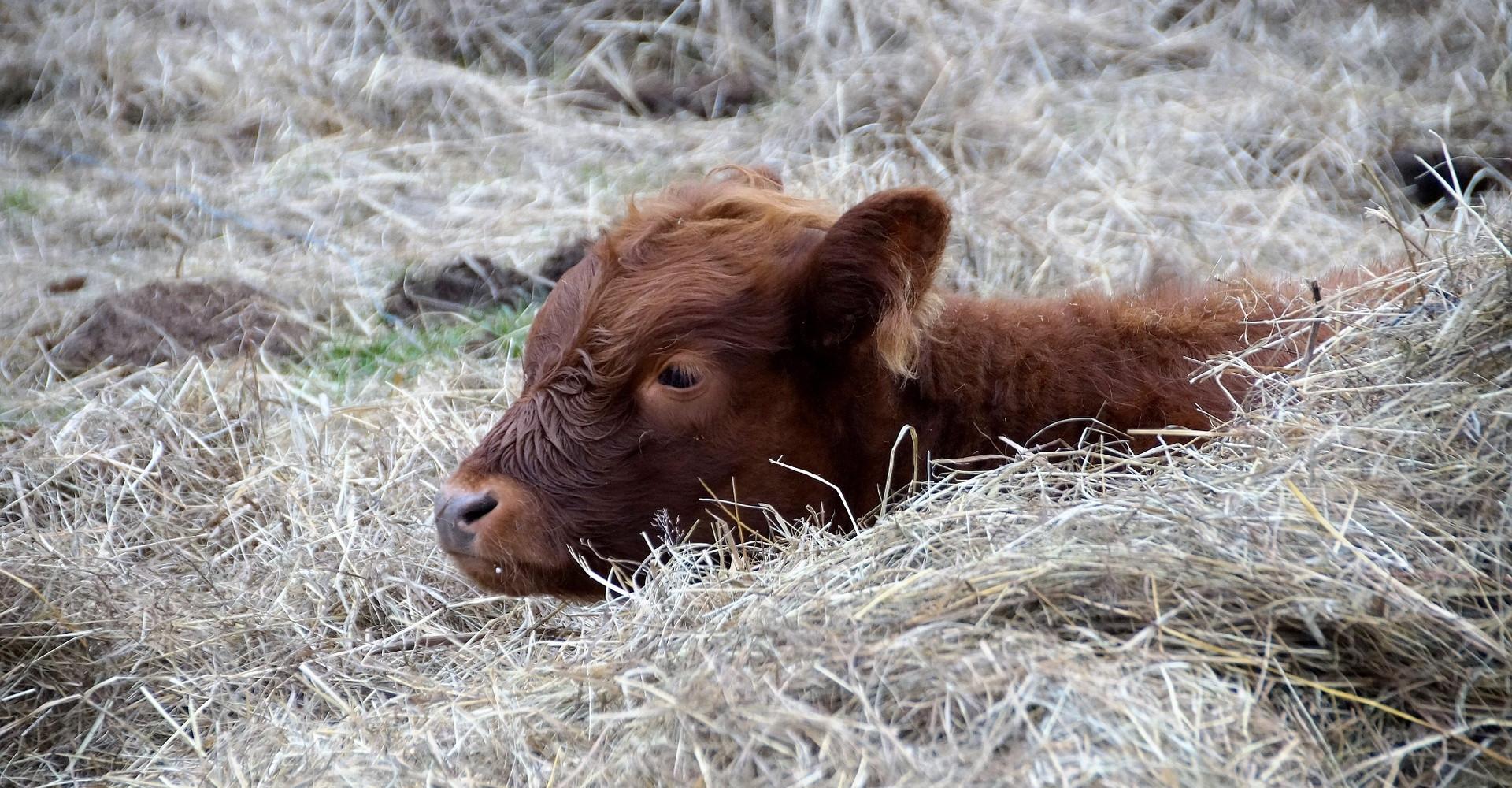 Tierarzt für Rinder - Rinderpraxis in Zweibrücken